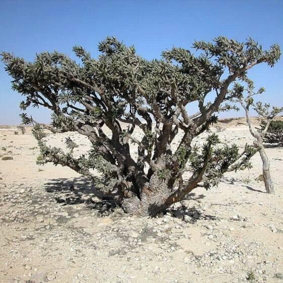 boswellia-serrata-frankincense2.