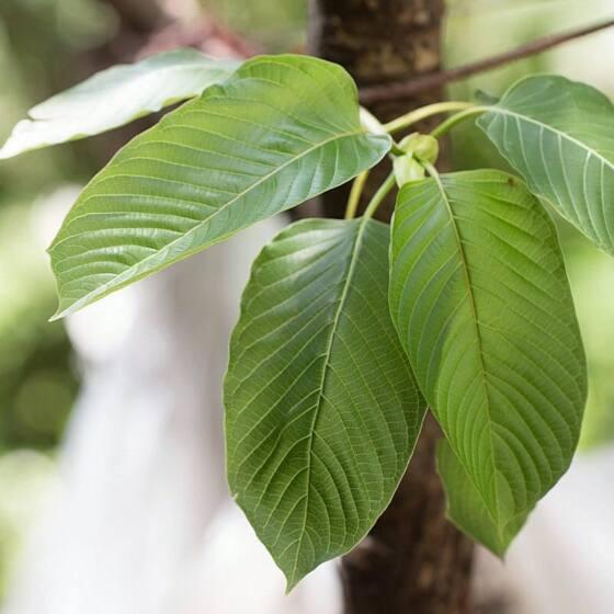 maeng-da-green2.